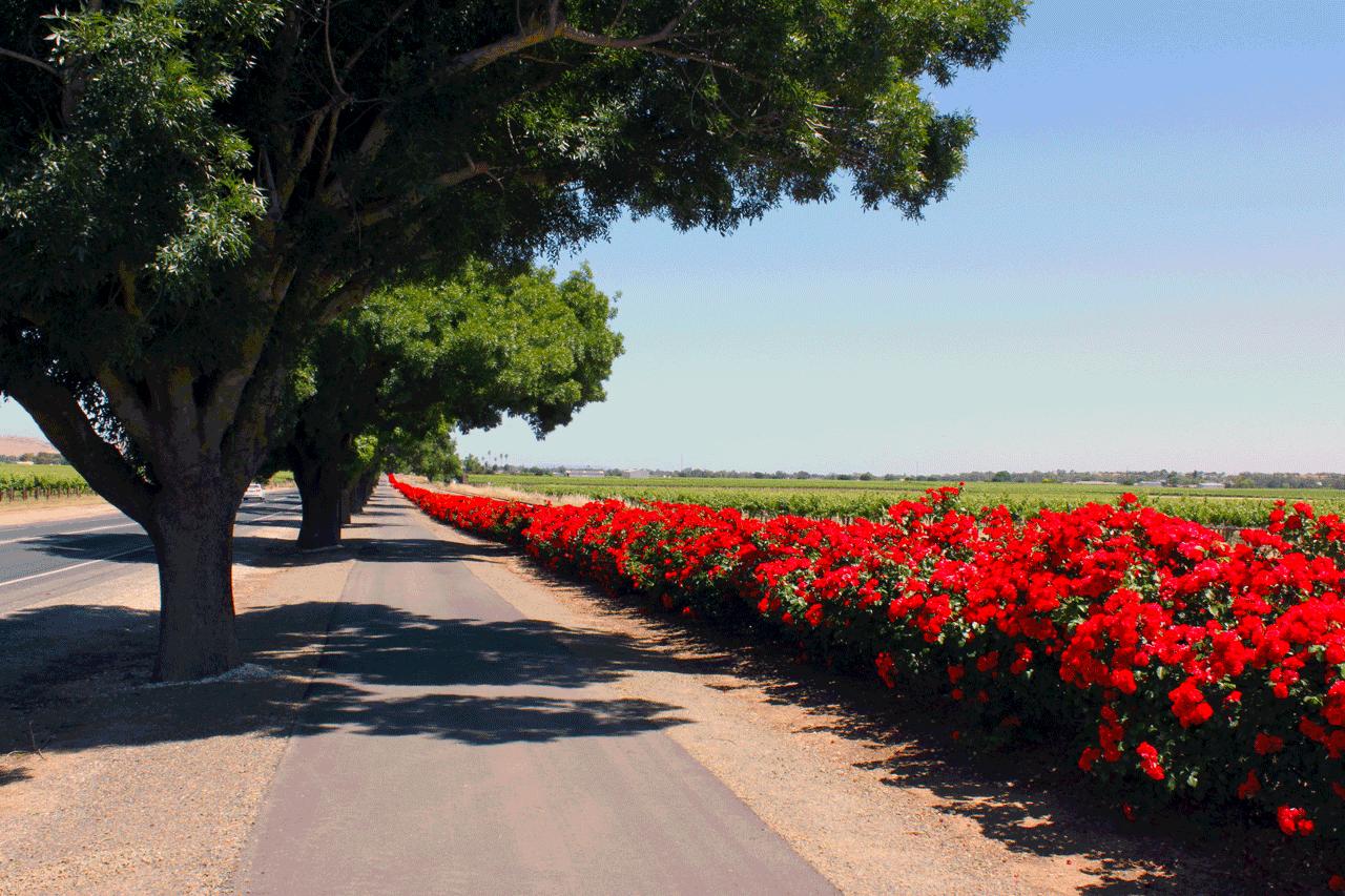 barossa_roses